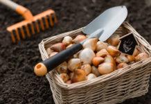 Jak przechowywać cebulki kwiatowe i bulwy zimą?